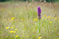 Early-purple Orchid {Orchis mascula} at Arkwright