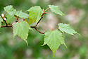 New leaves of snake bark maple (Acer morrisonense), early April. A rare variety from Taiwan.