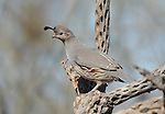 Gambel's quail - female