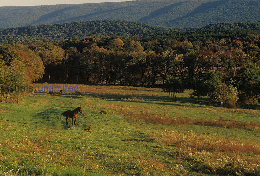 Domestic Horse ,Equus caballus, standing in a fall field, Pennsylvania, USA.
