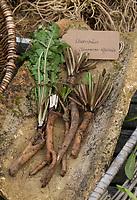 Löwenzahn-Wurzel, Löwenzahn-Wurzeln, Löwenzahnwurzel, Löwenzahnwurzeln, Wiesen-Löwenzahn, Radix Taraxaci, Taraxaci radix, Gemeiner Löwenzahn, Wurzel, Wurzeln, Wurzelstock, Pfahlwurzel, Kuhblume, Taraxacum officinale, Taraxacum sect. Ruderalia, Dandelion, root, roots, root stock, Dent de lion, Wurzel-Ernte, Wurzelernte im Herbst