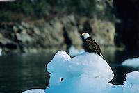 Bald eagle on floating ice berg, Prince William Sound, Alaska
