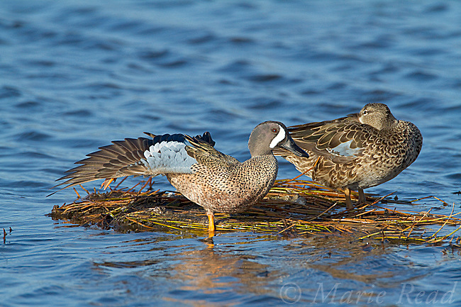 Blue-winged Teal (Anas discors) pair perched on floating vegetation, male stretching its wing and leg, Merritt Island National Wildlife Refuge, Florida, USA