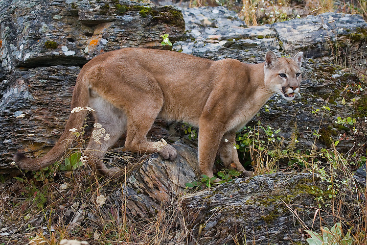 Puma standing on a rocky hill side - CA