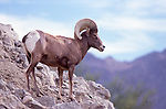 Desert bighorn sheep in Palm Desert, CA
