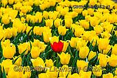 Tom Mackie, LANDSCAPES, LANDSCHAFTEN, PAISAJES, photos,+Dutch, Europa, Europe, European, Holland, Netherlands, Tom Mackie, bloom, blooming, blossom, blossoms, botanic, botanical, co+lor, colorful, colour, colourful, flower, flowers, horizontal, horizontals, landscape, landscapes, red, season, spring, touri+st attraction, tulip, tulips, yellow,Dutch, Europa, Europe, European, Holland, Netherlands, Tom Mackie, bloom, blooming, blos+som, blossoms, botanic, botanical, color, colorful, colour, colourful, flower, flowers, horizontal, horizontals, landscape, l+,GBTM180362-1,#l#, EVERYDAY