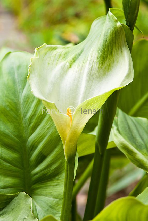 arum d'Ethiopie 'Green Goddess', Zantedeschia aethiopica 'Green goddess' // Zantedeschia aethiopica 'Green goddess'  (common names Lily of the Nile 'Green goddess' , Calla lily 'Green goddess' , Easter lily 'Green goddess' , Arum lily 'Green goddess'
