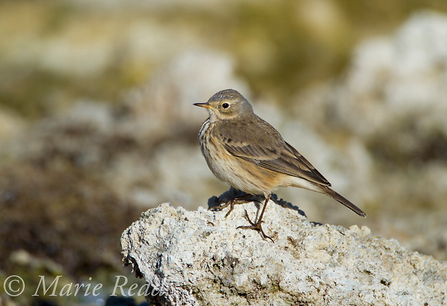 American Pipit (Anthus rubescens) perched on low tufa outcrop on the shore of Mono Lake, California, USA