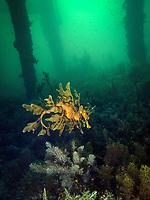 leafy Sea dragon, Phycodurus eques, a leafy seadragon under a jetty or pier in South Australia , nestled amongst algae, Wool Bay South Australia, Australia, Southern Ocean