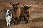 Domestic Goat (Capra hircus) females and kid in pen, France
