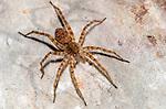 Thinlegged Wolf Spider (Pardosa), Lexington Wildlife Management Area, Oklahoma, USA