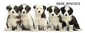 Kim, ANIMALS, REALISTISCHE TIERE, ANIMALES REALISTICOS, fondless, photos,+Five Border Collie puppies sitting in a row,++++,GBJBWP41813,#a#