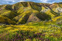 Owls Clover, Monolopia, Tremblor Range, Carrizo Plain National Monument, San Luis Obispo County, California