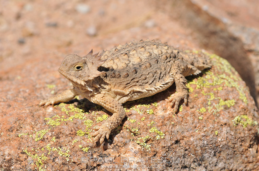 Regal Horned Lizard (Phrynosoma solare), Arizona