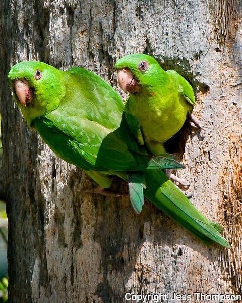 Green Parakeets, Weslaco, TX