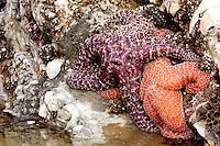 two sea stars (purple and orange) on the rocks