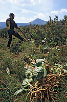 Europe/France/Auvergne/15/Cantal/Parc Naturel Régional des Volcans/Massif du Puy Mary: Arrachage des racines de gentianes