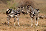 Burchell's Zebra (Equus burchellii) females nuzzling, Kruger National Park, South Africa