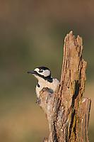Buntspecht, Männchen bei der Nahrungssuche an einem Baumstamm, Portrait, Porträt, Bunt-Specht, Specht, Spechte, Dendrocopos major, Picoides major, Great spotted woodpecker, male