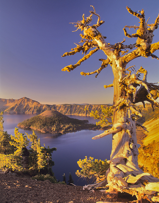 Crater Lake and Wizard Island with unique pine. Oregon.