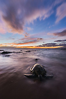An endangered green sea turtle, or honu, crawls up to a hidden stretch of beach on the west side of Maui at twilight.