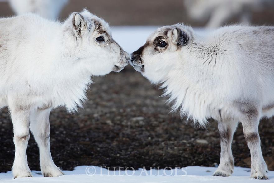 Norway, Svalbard, Svalbard reindeer (Rangifer tarandus platyrhynchus), subadult reindeers touching noses