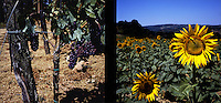 Sunflowers and grapes line a vineyard off Vie Del Chianti in Tuscany, Italy in the summer of 2007.