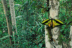 Birdwing Butterfly, Mount Amungwiwa, Papua New Guinea