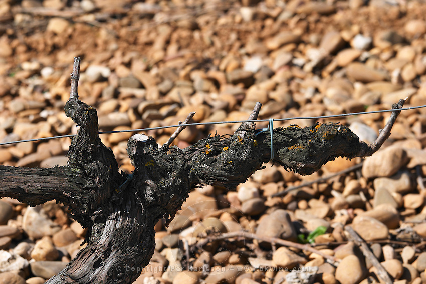cabernet sauvignon cordon double training old vine bodegas frutos villar , cigales spain castile and leon