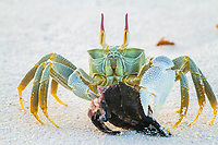 horned ghost crab, horn-eyed ghost crab, Ocypode ceratophthalma, feeding on critically endangered hawksbill sea turtle hatchling, Eretmochelys imbricata, Bird Island, Seychelles, Indian Ocean
