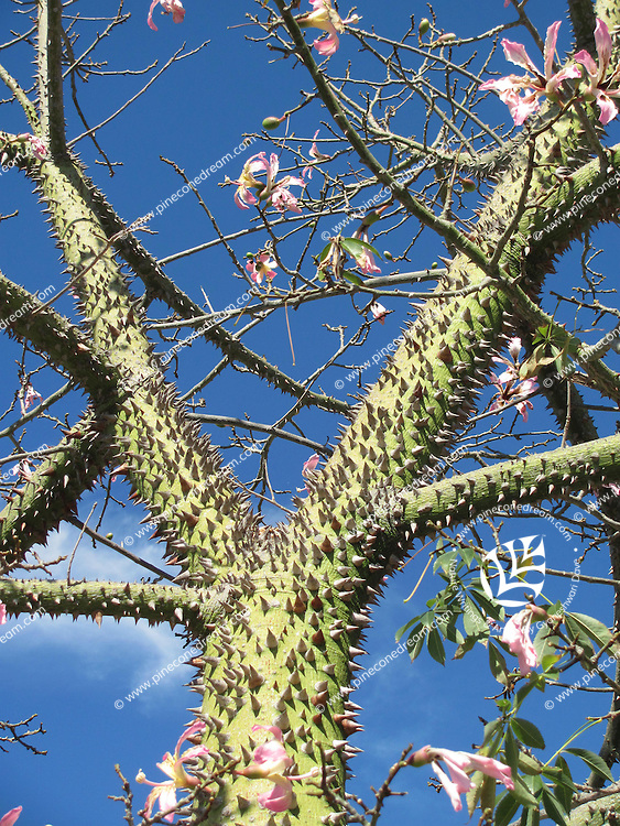 Stock image-  Floss-Silk tree in Cyprus with spikes on the trunk and pink flowers.
