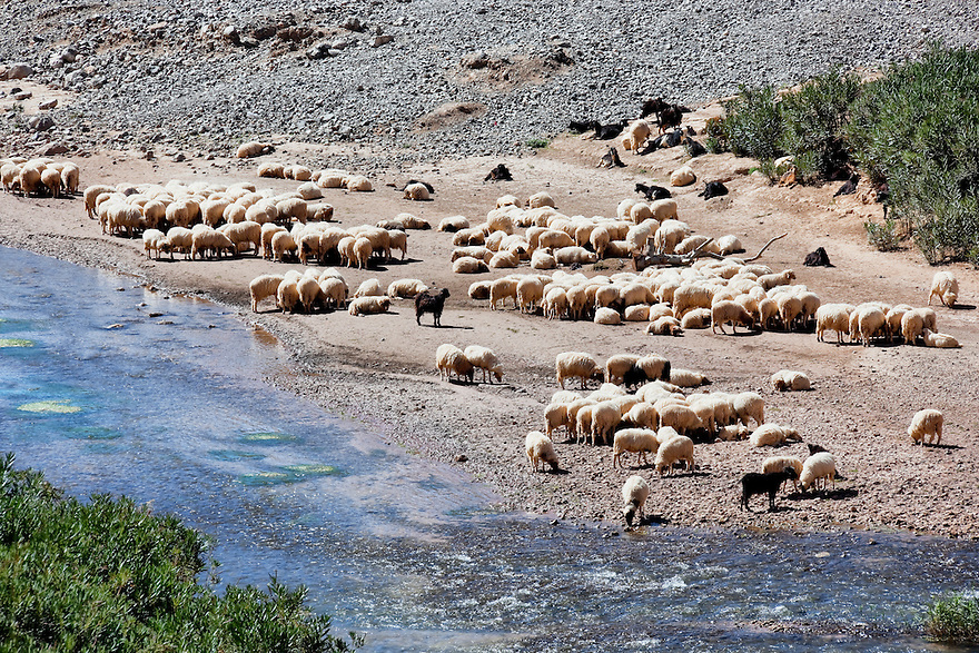 Flock of sheep at the Dades river in the Dades valley, Morocco.