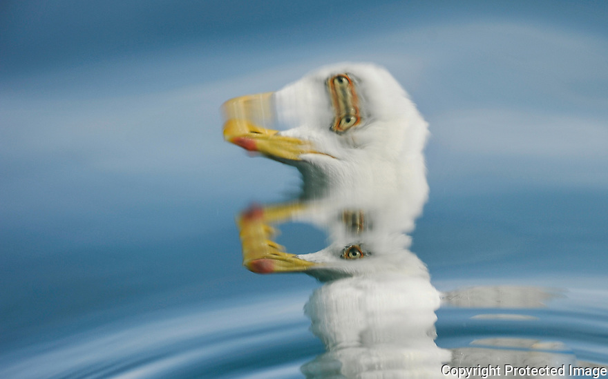 A swimming seagulls head reflection in the sea surface