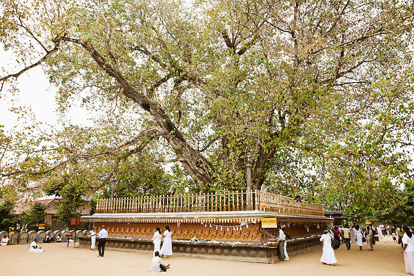 Sri Lankan Buddhists make offerings and circumnavigate the main tree at Kelaniya Temple in Kelaniya, Sri Lanka. The Kelaniya Raja Maha Vihara or Kelaniya Temple is a Buddhist temple in Kelaniya, Sri Lanka, seven miles from Colombo. The spot on which this temple stands derived its sanctity in the Buddhist era 2531, with the third visit of the Buddha to this country.Over 70 percent of Sri Lanka's population practices Buddhism.