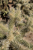 A Teddy Bear Cholla in the Cactus Forest area of Saguaro National Park East (Rincon Mountain District) near Tucson, Arizona, USA.