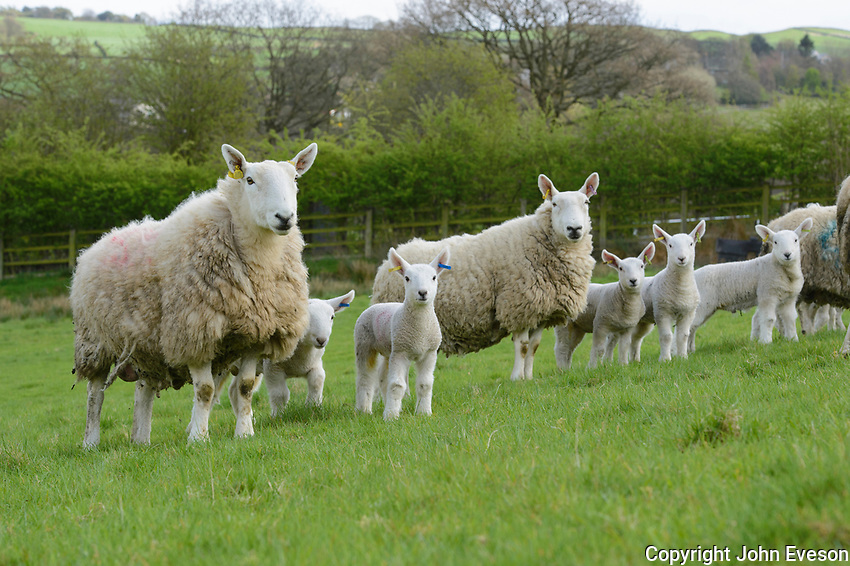 Commercial North Country Cheviot ewes and lambs, Hayfield, High Peak, Derbyshire.