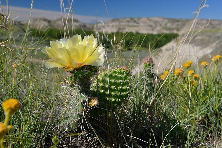 Prickly Pear Cactus - Opuntia polyacantha. Dinosaur Provincial Park, Alberta, Canada