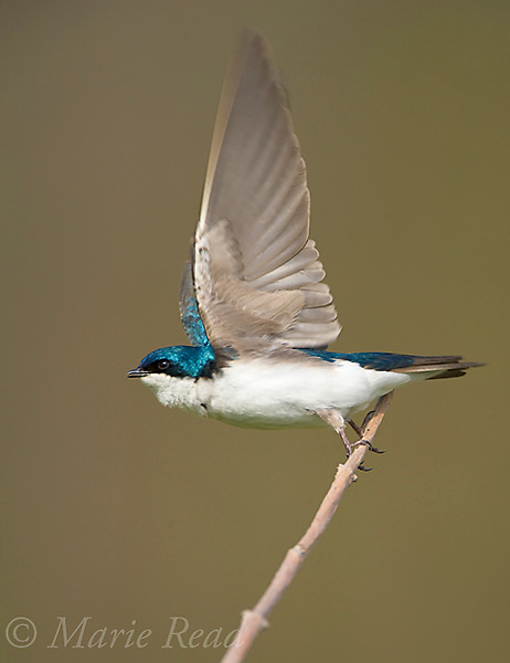 Tree Swallow (Tachycineta bicolor), taking flight from perch, New York, USA