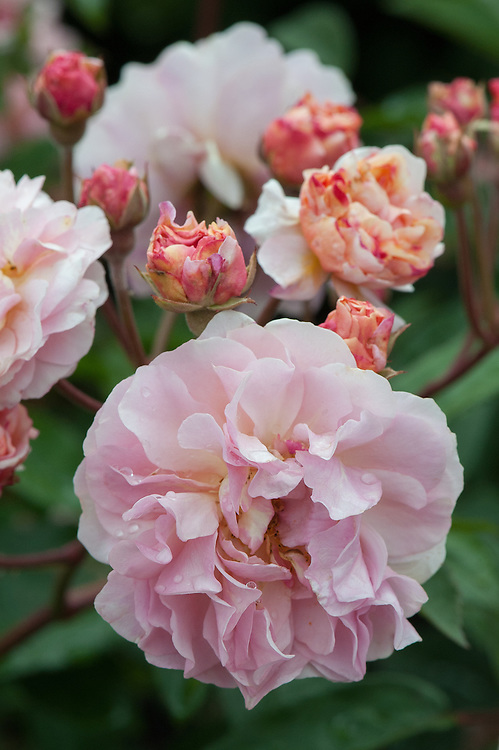 Rosa 'Cornelia', early June. A vigorous, medium-sized Hybrid Musk rose with good, dark bronze-tinged foliage and sprays of very fragrant, double flowers, opening from coral-red buds to a deep salmon-pink colour on the backs of the petals and pure pink on the insides. Bred by Pemberton, 1925.