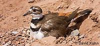 0510-1120  Killdeer, Adult Sitting on Eggs, Charadrius vociferus  © David Kuhn/Dwight Kuhn Photography