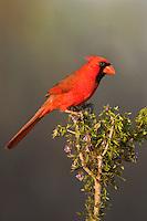 511650097 a wild male northern cardinal cardinalis cardinalis on santa clara ranch hidalgo county rio grande valley texas united states