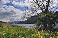 Spring flowers, Lake Resia, Italian/ Austrian border.