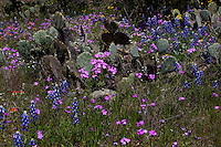 Prickly Pair Cactus surround Spring Wildflowers in the Texas Hill Country