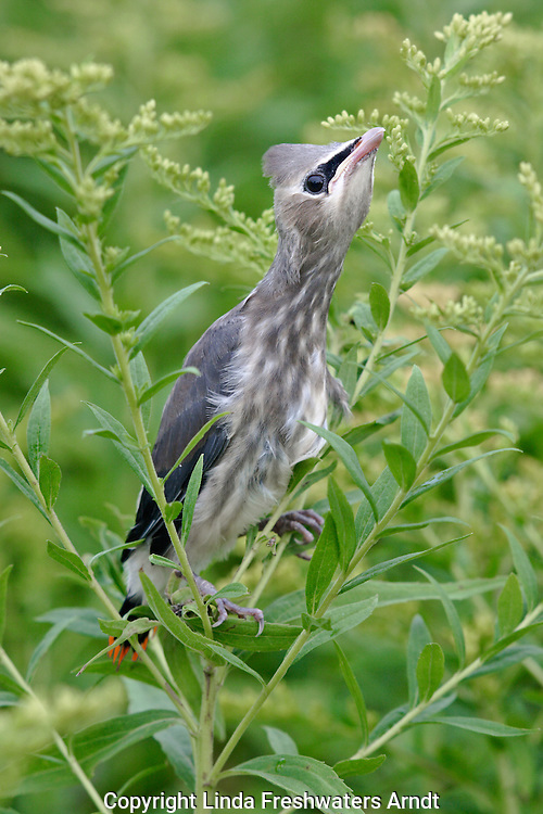 Juvenile Cedar Waxwing (Bombycilla cedrorum) perched on goldenrod trying to be inconspicious.  Adult cedar waxwings located nearby. August 2005. Winter, WI
