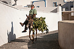 Man on a donkey hauls grape vines home at the end of the harvest, Vothonas (cave city), Santorini, Greece.