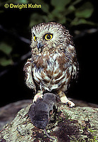 OW04-001b  Saw-whet owl - with short tailed shrew prey - Aegolius acadicus