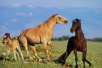 Two wild horse stallions show aggressive behavior while young colt quickly tries to get out of the way.  Western U.S..(Equus caballus)