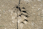 Tiger Paw mark in mud/sand, Kaziranga National Park, Assam, India, World Heritage & IUCN Category II Site, pug, print, footprint, big cat.India....