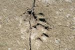 Tiger Paw mark in mud/sand, Kaziranga National Park, Assam, India, World Heritage & IUCN Category II Site, pug, print, footprint, big cat.India....