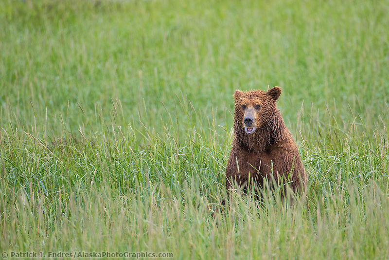 Brown bear in grass, Katmai National Park, Alaska Peninsula, southwest Alaska.